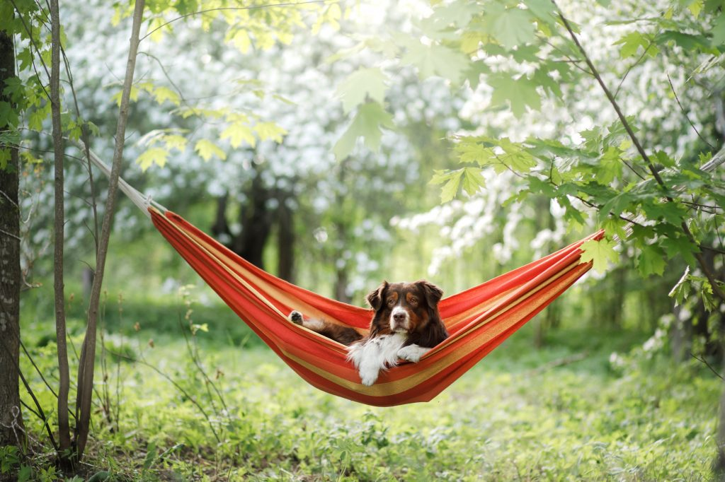 dog in hammock on the nature. Australian Shepherd is resting. Pet adventure